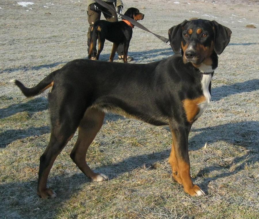 AKC, purebred dogs, dogs, recognitiom