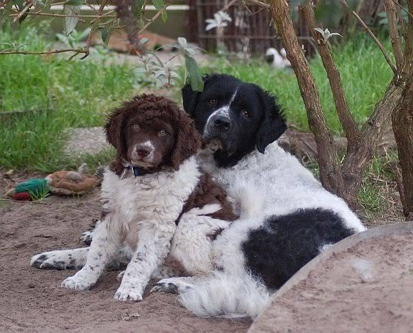 Wetterhoun, dogs, purebred dog