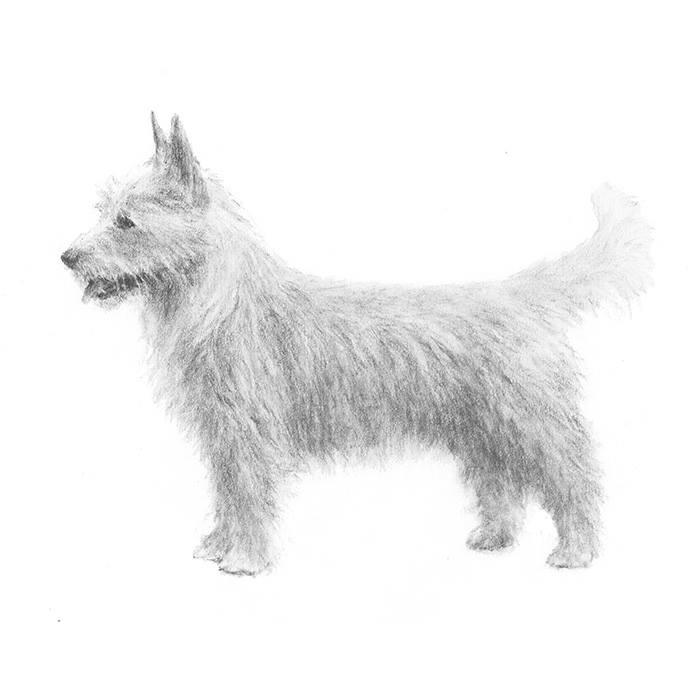 Portuguese Podengo Pequeno,Pequeno,Podengo,dogs, purebred dogs