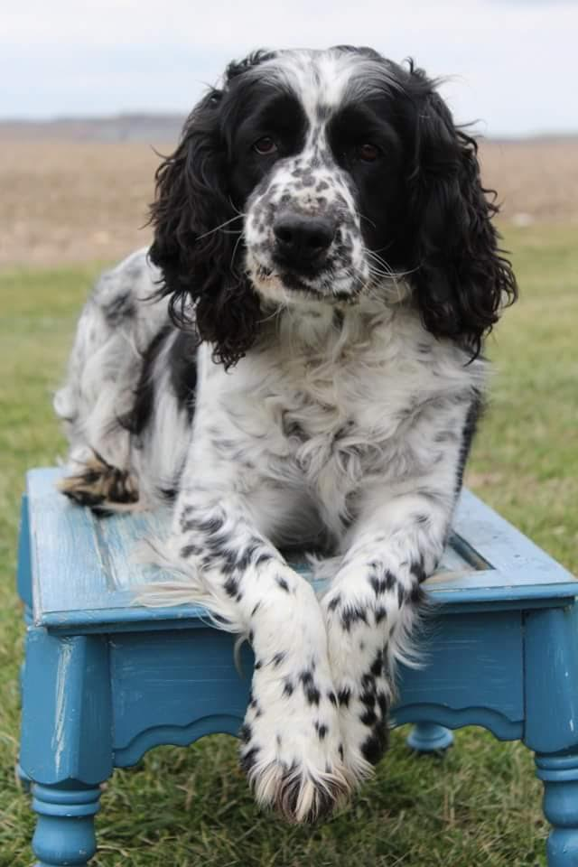 english springer spaniel, dogs, purebred dogs, Monday morning