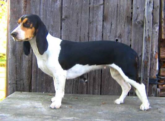 Schweizer Laufhund,dogs,Niederlaufhund,purebred,Small Swiss Hound,Small Bernese Hound,Schweizer Laufhund,dogs,Niederlaufhund,purebred,