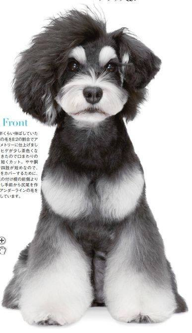 asian fusion, grooming,coat, dog, purebred dog, schnauzer
