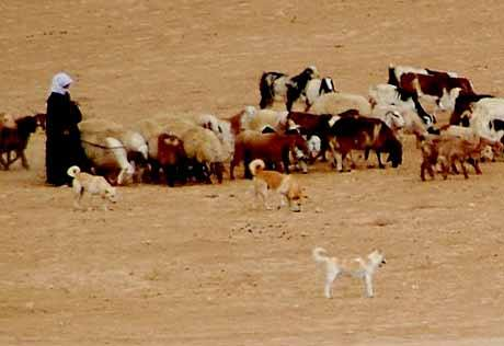 Canaan Dog,Israel, proto dog, dogs, purebred,