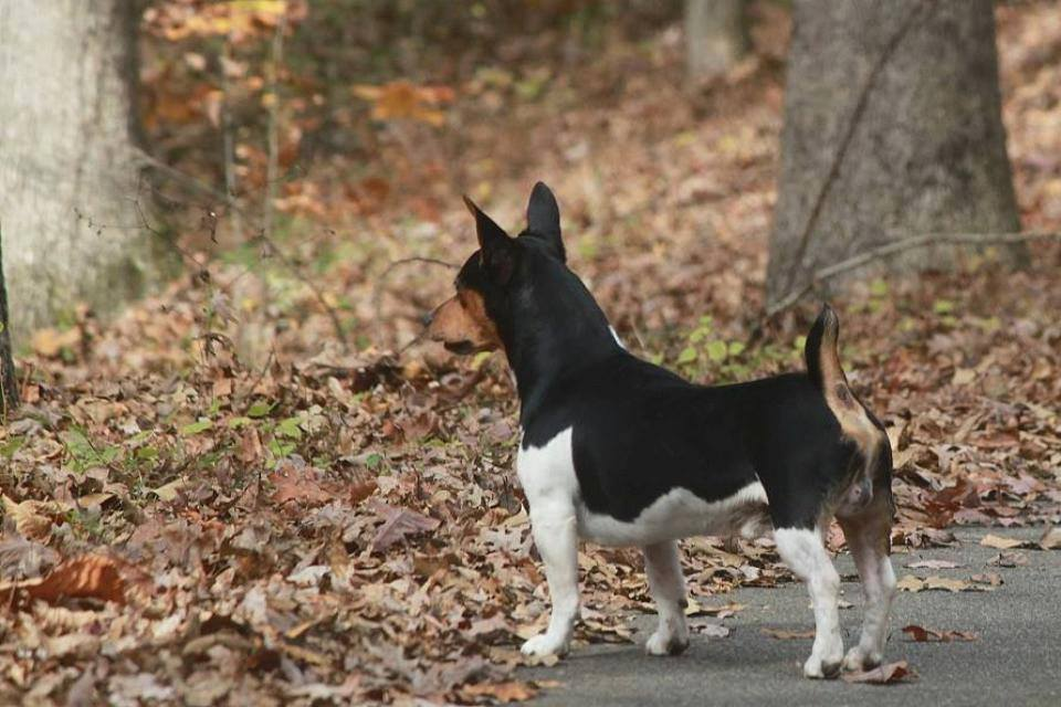 Rat Terrier,Teddy Roosevelt Terrier,Smooth Fox Terrier,Manchester Terrier,Bull Terrier,Beagle,Whippet,Italian Greyhound,English Terrier,dog,purebred