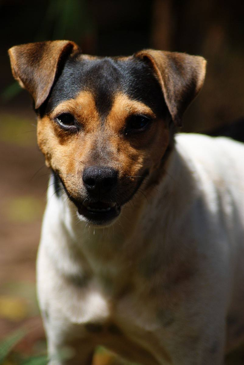 Fox Paulistinha,Brazilian Terrier,Identify This Breed,dog,purebred