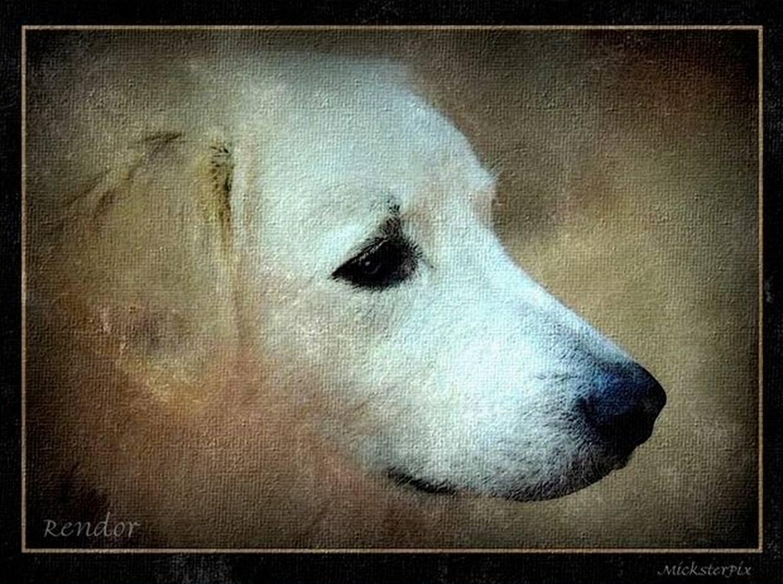 LGC, livestock guardian dog, kuvasz, hungarian, dog,purebred dog
