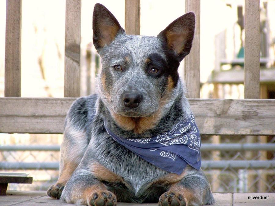 Monday,Australian Cattle Dog,dog,purebred dog