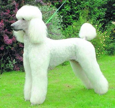 X coatX groomingX PoodleX Lamb clip, kennel clip,utility clip,dogs,purebred dogs,Monsieur Marcelis