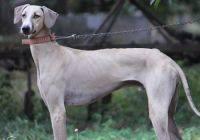 Saluki,Chippiparai,India,dogs,purebred dogs,