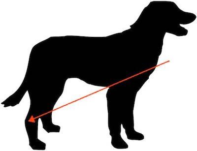 hocks,hocks well let down,short hocks,dog,structure,purebred dog