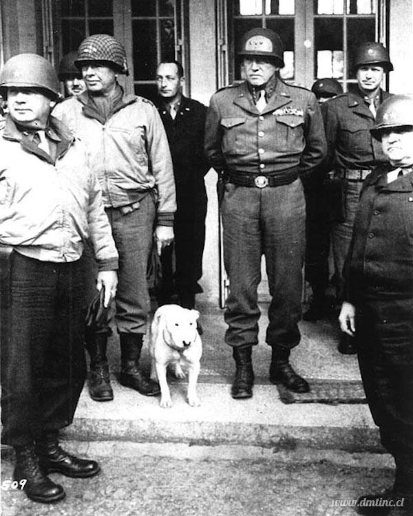 Boxer,bully,General George Patton,mascot,Staffordshire Bull Terrier,Terrier