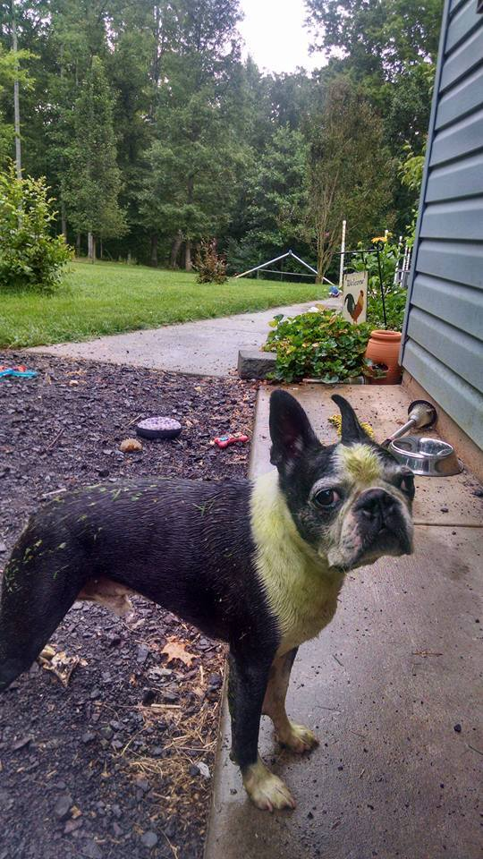 dog, purebred dogs,Boston Terrier,