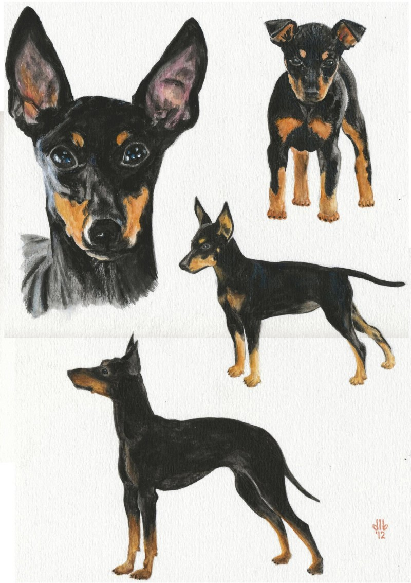 Toy Manchester Terrier,Manchester Terrier,dog,purebred dog,ear,structure