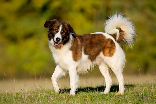 Sloughi.dogs, purebred dogs,Morocco, Aidi, Atlas Mountain Dog,Atlas Sheepdog,LGD,Livestock Guardian Dog,