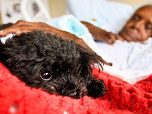 Poodle,dogs,therapy dog,purebred dog