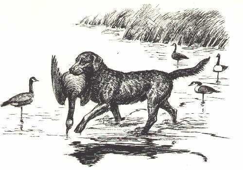 Chesapeake Bay Retriever, topline, structure,dogs, purebred dogs,
