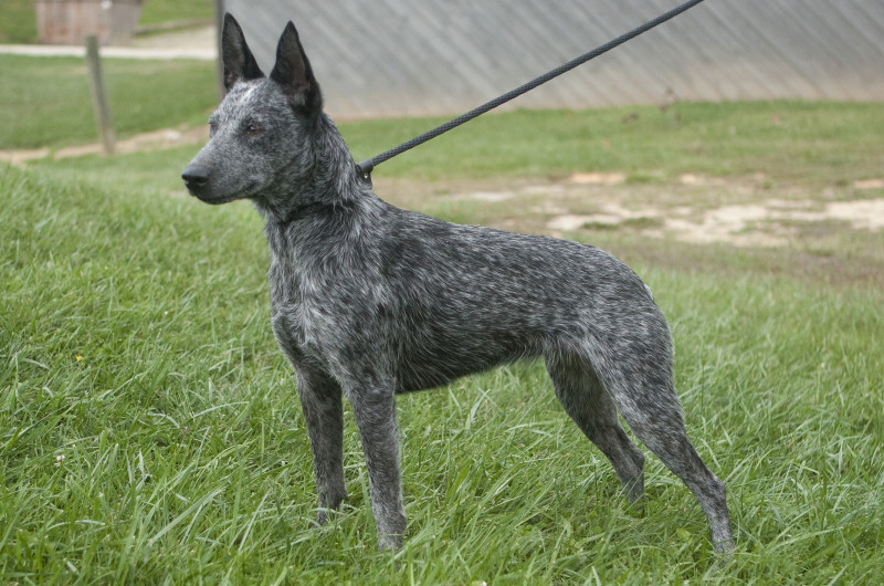 Australian Stumpy Tail Cattle Dog,Australian Cattle Dog,dog,purebred dog,Australia, Kelpie,Stumpie