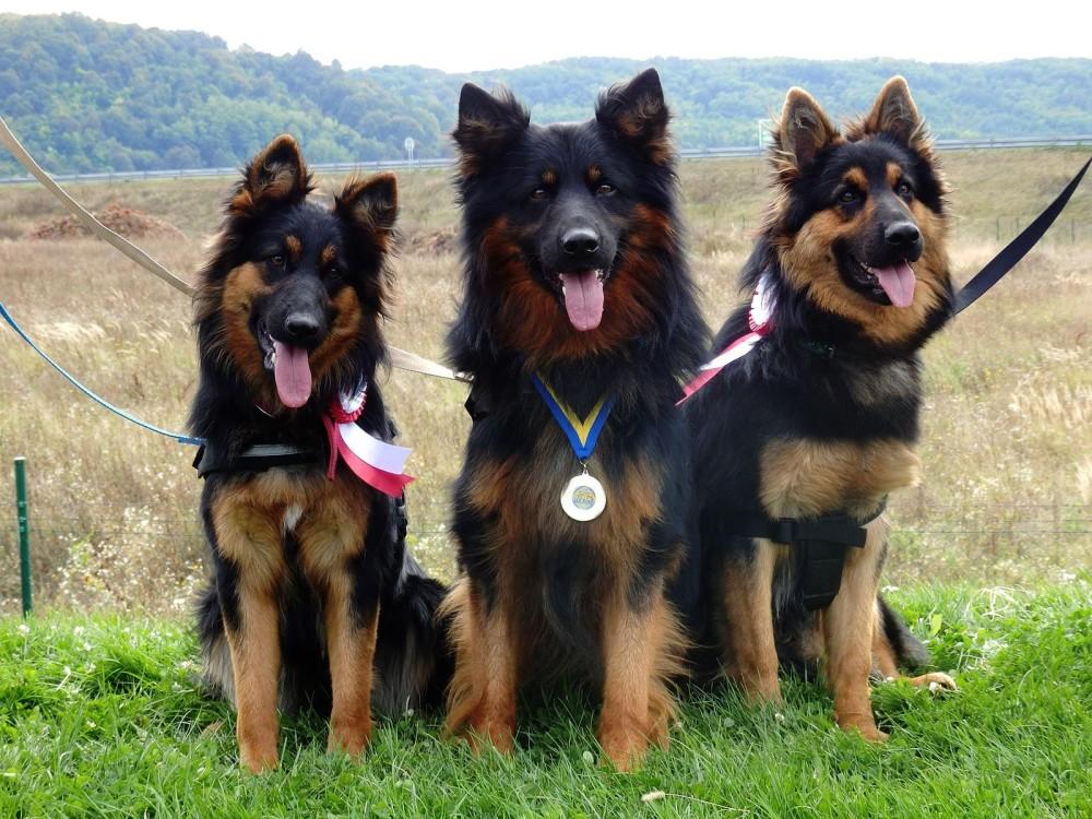 Bohemian Shepherd,Czech Shepherd,Chodský pes,Chodenhund,german shepherd dog,dog,purebred dog,