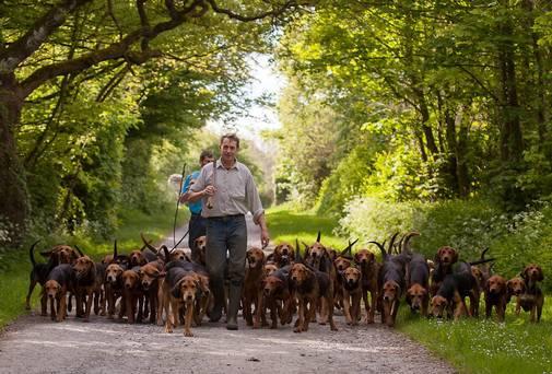 Kerry Beagle,Ireland,dogs,purebred dog