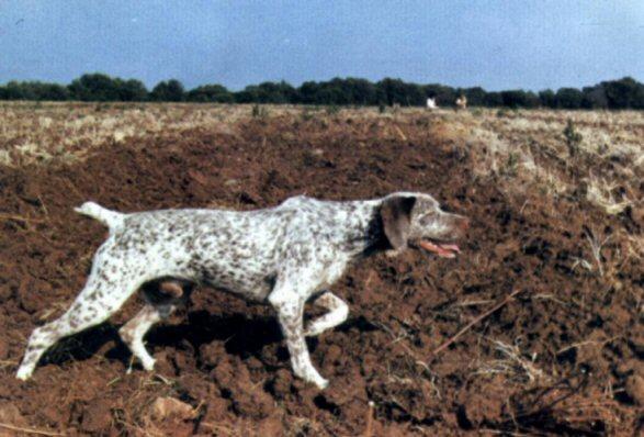 Pointer, Dogs,purebred,Braque Saint-Germain,Braque d'Auvergne, Braque de l'Ariege, Braque Du Bourbonnais,Braque Français