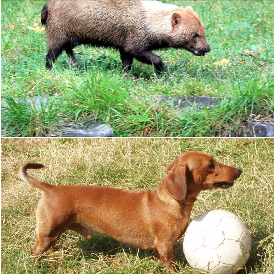 Dachshund, dogs, purebred dogs, bush dog, structure