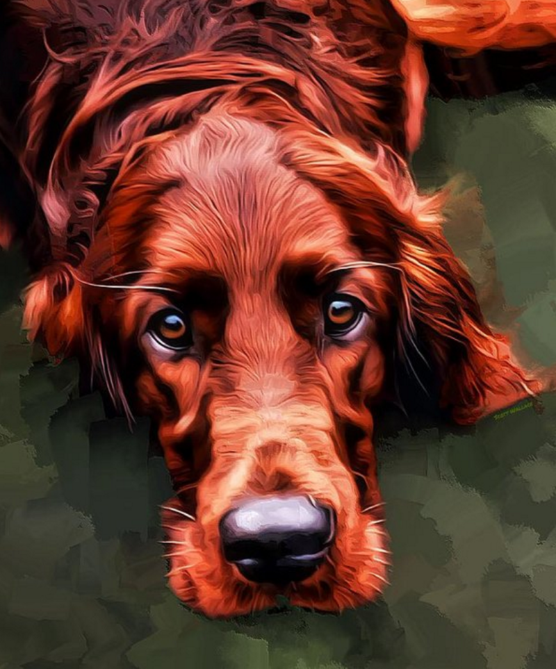Irish Setter,Irish Red and White Setter,dogs,purebred dog,Ireland,Modder Rhu