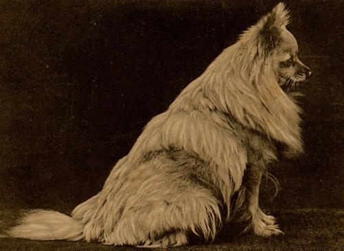 Gina,Queen Victoria,Pomeranian,dog,purebred