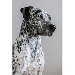 Catahoula Leopard Dog,Catahoula Hog Dog,Catahoula Hound,Catahoula Leopard Dog,Leopard Dog,Leopard Cur,Louisiana Catahoula Leopard Dog,dog,purebred dog,state dog,Louisiana