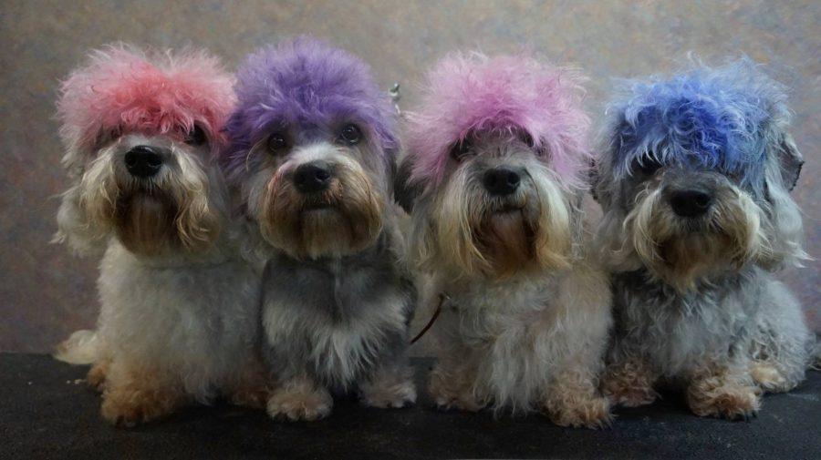 Dandie Dinmont,dog,purebred dog,