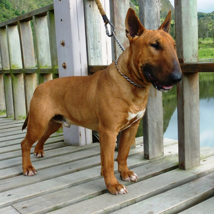 Bull Terrier, bully,smut,color,dogs,purebred dogs