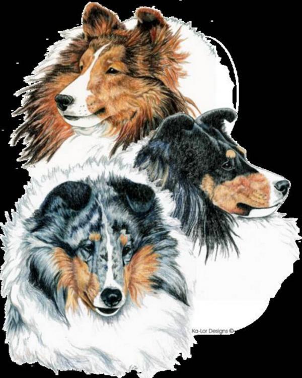 Bigga,Dogs,Hascosay,Mousa,Papa StourPurebred Dog,Sheltie,Shetland Islands,Shetland Sheepdog,Trondra,sheepdog