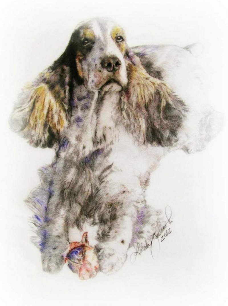 English Cocker Spaniel,cocker spaniel,gun dog,purebred dog,dogs,hunting dog
