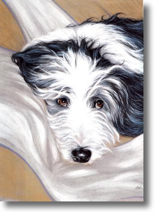 Bearded Collie,dogs,purebred dogs,Hairy Mou'ed Collie