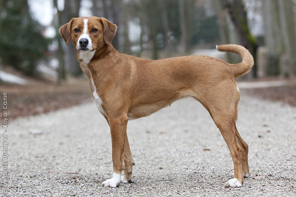 Austrian Shorthaired Pinscher,austrian pinscher,german pinscher,purebred dog,Österreichischer Pinscher