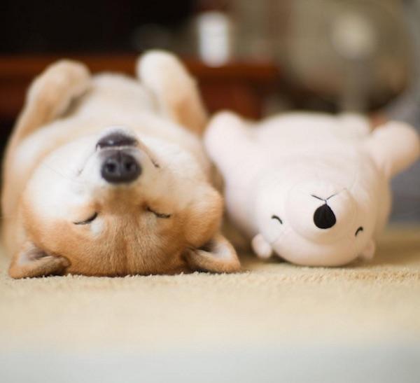 Shiba Inu,Instagram,Maru,purebred dog