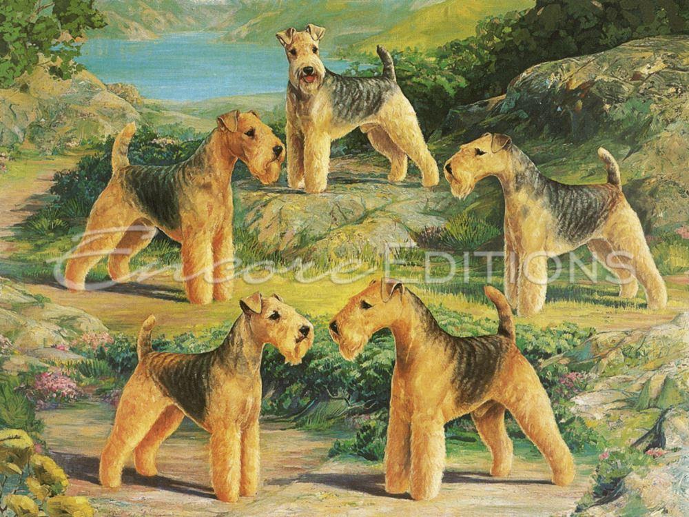 fell terrier,terrier,lakeland terrier,purebred dogs,AKC