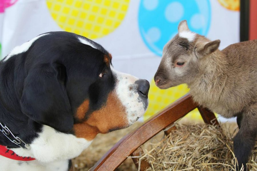 Greater Swiss Mountain Dog,sheep,purebred dog
