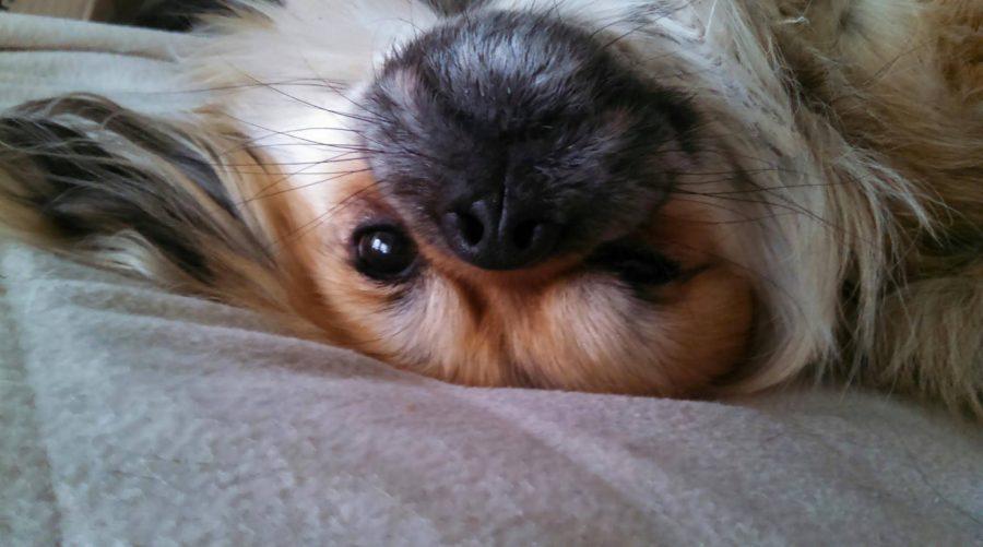 Tibetan Spaniel,Monday,purebred dog