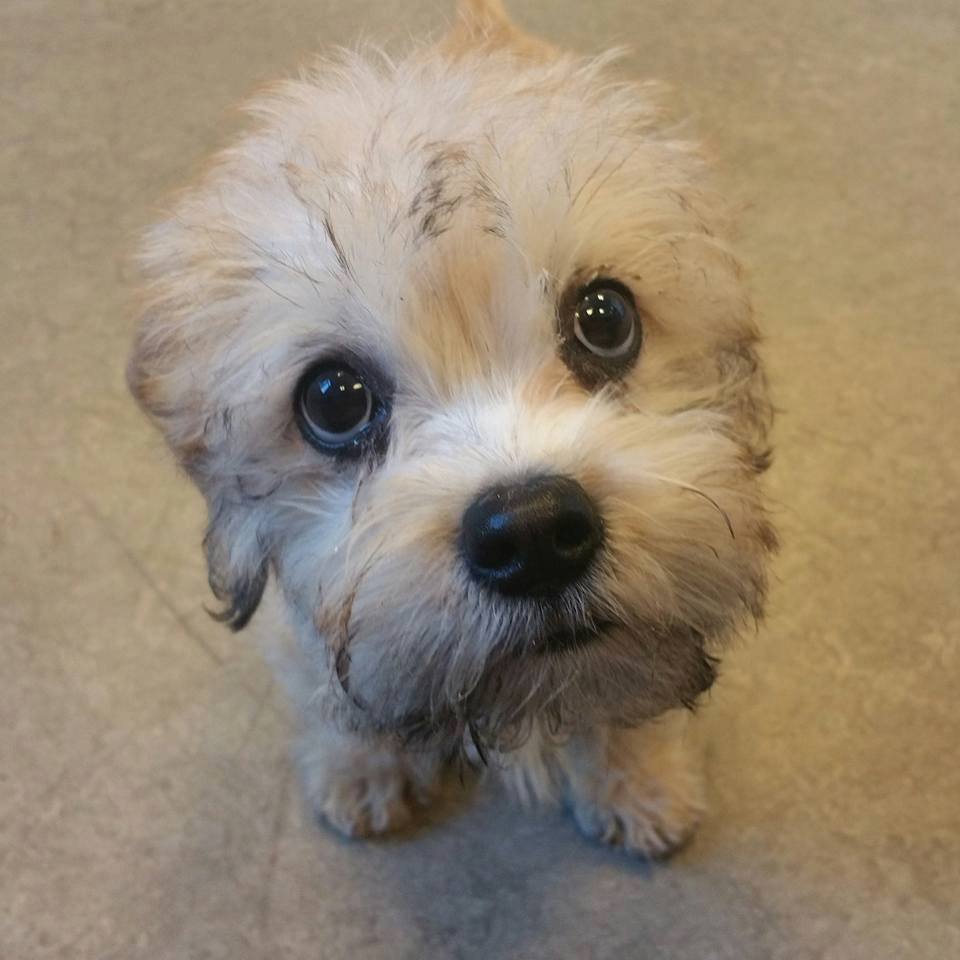 Dandie Dinmont Terrier,terrier,Guy Mannering,vulnerable breed,purebred dog