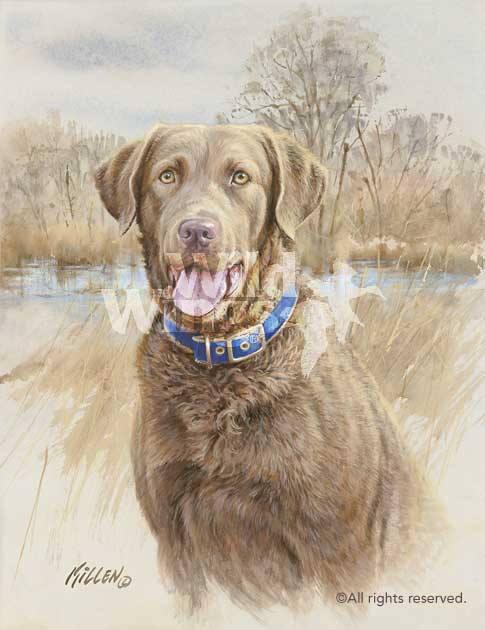 color,chesapeake bay retriever,dogs,purebred dog