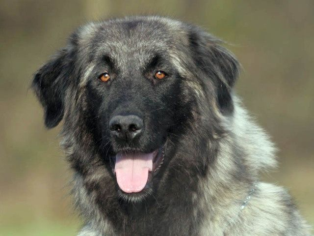 Estrela Mountain Dog,LGD, Livestock Guardian Dog, purebred dogs
