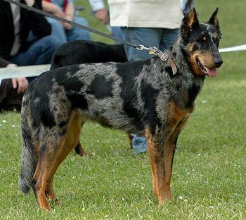 Beauceron,harlequin,dog,purebred dog,color