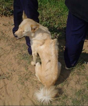 Cambodian Razorback,ridgeback,purebred dog,