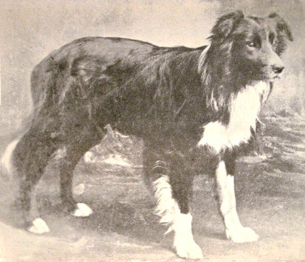 Border Collie,herding dog,purebred dog,collie, Bearded Collie History,Old English Sheepdog,Bearded Collie,Collie,Shetland sheepdog