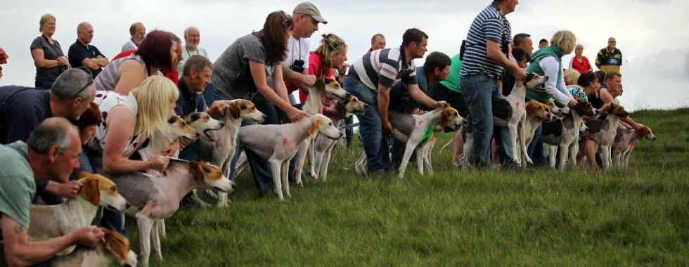 Hound Trailing,hound,harrier,dogs,purebred dog