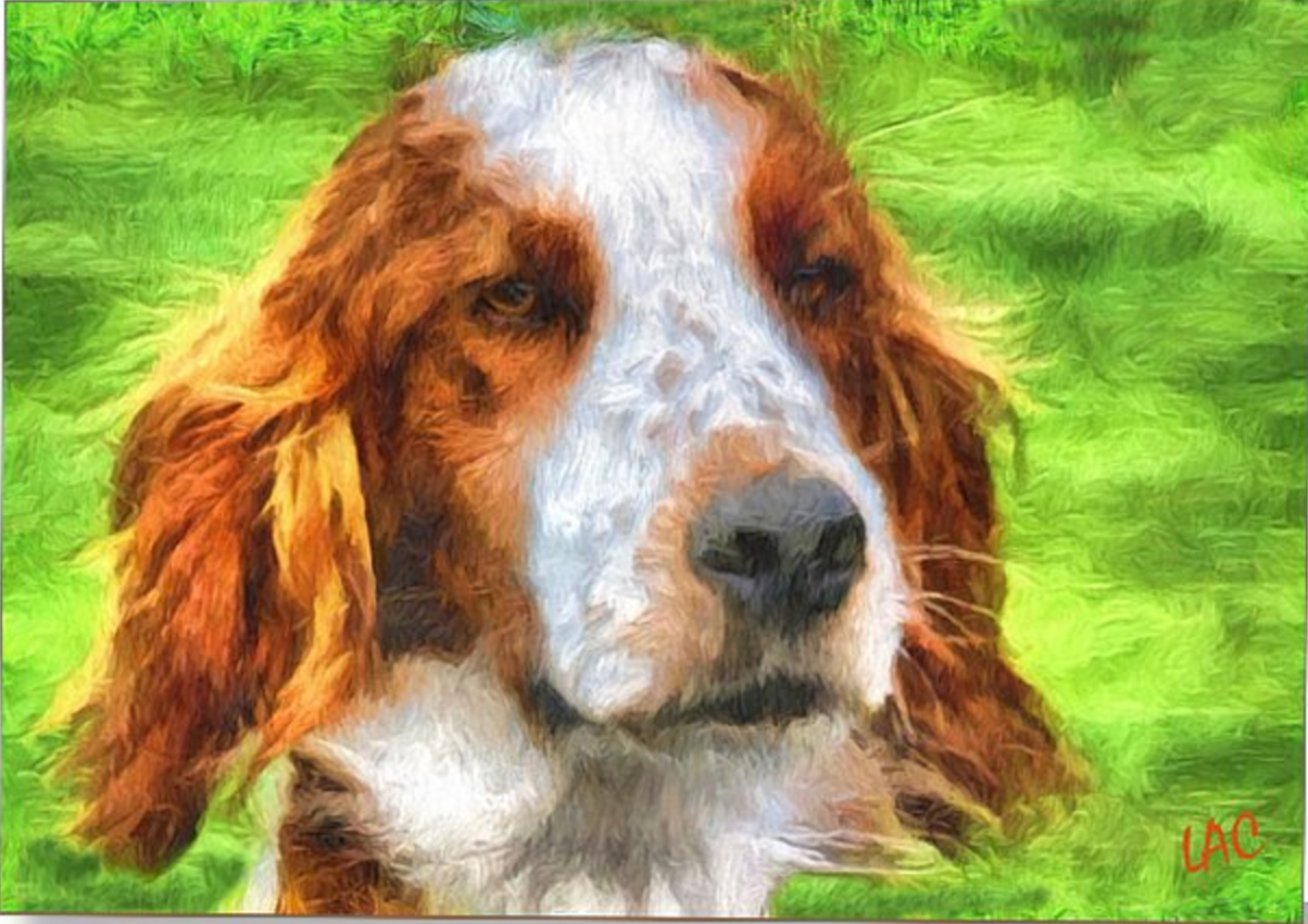 Irish Red and White Setter,Irish Setter,dogs,purebred dog