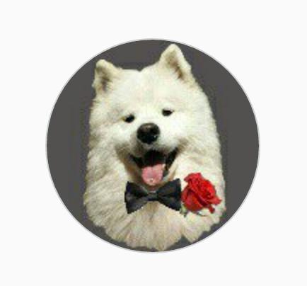 samoyed,baby beckham,dog,purebred dog,instagram