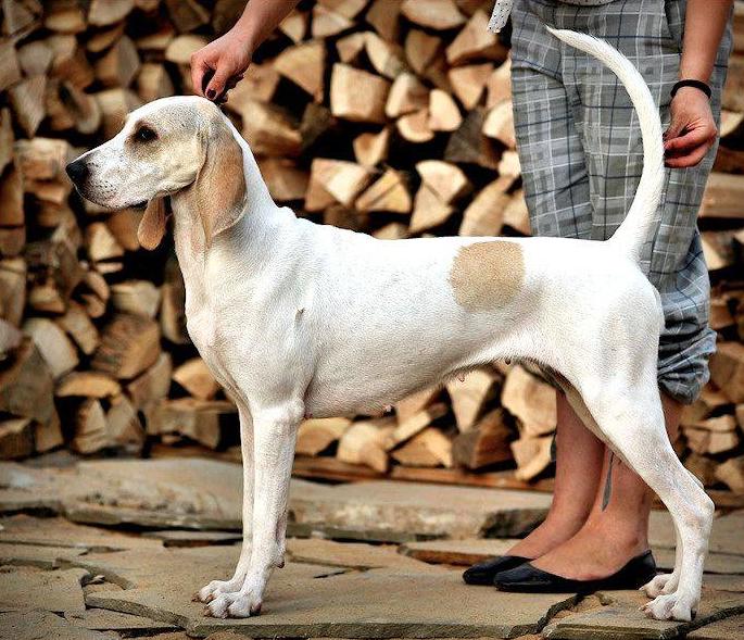 Porcelaine Hound,Lunéville Hound,Franché-Comté Hound,dog,purebred dog,