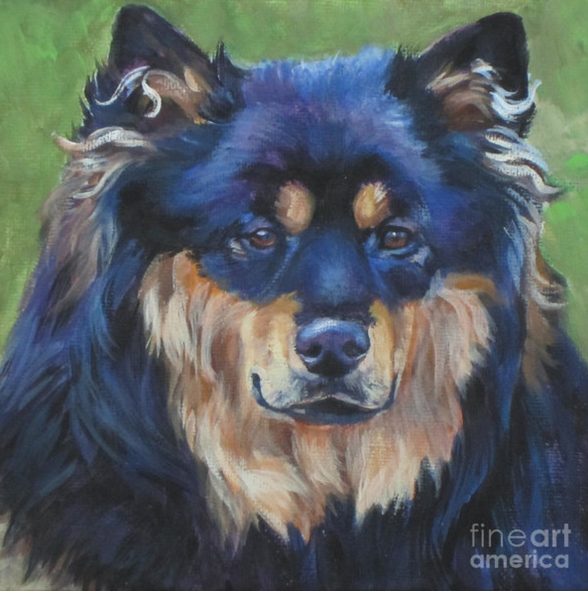 Finnish Lapphund,color,purebred dog