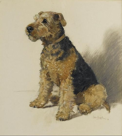 Welsh Terriers,Wire Fox Terrier, Lakeland Terrier,Airedale Terrier,terrier,purebred dog, Little Welsh Dragon,nickname